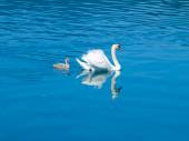 White swan with cygnet — Stock Photo