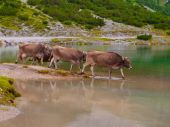 Three alpine cows standing in the lake — Stock Photo