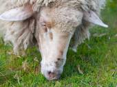 Detailed view of grazing sheep — Stock Photo