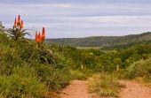 Bright orange Aloe flowers alongside South African bush road — Stock Photo