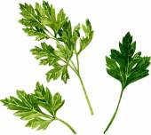 Leaves of parsley — Stock Vector