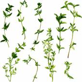 Branches of thyme — Cтоковый вектор