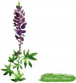Lupine drawing by watercolor — Stock Vector
