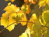 Yellow leaves of the vine, backlit — Stockfoto