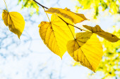 Yellow linden leaves on a branch backlit — Stock Photo
