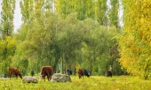 Herd of cows grazing in the forest — Stock Photo
