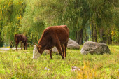 Cows grazing  in the autumn forest — Stock Photo