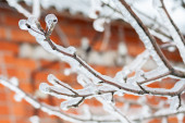 Icy branches of apple trees — Stock Photo