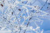 White frost on the branches of spirea — Stock Photo