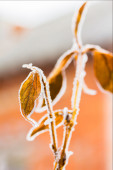 Leaves of weigel with white hoarfrost, backlit — Stock Photo