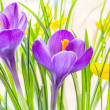 Purple and yellow spring crocuses close up — Stock Photo #65212509