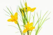 Yellow spring crocuses backlit, close up — Stock Photo