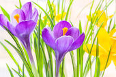 Purple and yellow spring crocuses close up — Stock Photo