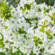 Bunch of cherry blossoms close up — Stock Photo #65944823