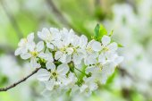 Bunch of cherry blossoms on blurred background — Stock Photo