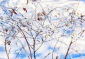 White hoarfrost on the branches of spirea — Stock Photo