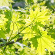 Green maple leaves macro, backlit — Stock Photo #69928705