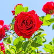 Red roses on a background of blue sky — Stock Photo #70451303