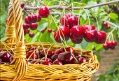 Berries sweet cherries in a basket in the orchard — Stock Photo