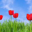 Red tulips and grass against a blue sky — Stock Photo #75783129