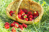 Overturned basket of strawberries in the grass — Stock Photo