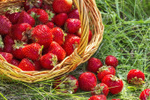 Overturned basket of strawberries close up — Stock Photo