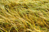 Beautiful yellow grass — Stock Photo