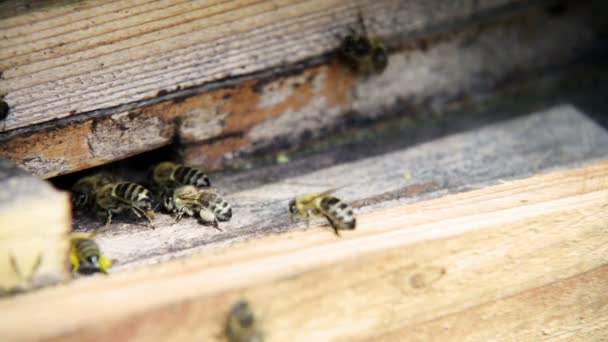 Entrada de la colmena. Las abejas ven hacia adentro y hacia afuera. Par de abejas constantemente ventilación colmena por alas — Vídeo de stock