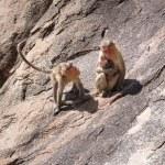 Monkey family in the mountain — Stock Photo #54782453
