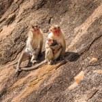 Monkey family in the mountain — Stock Photo #54782537