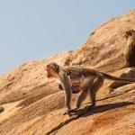 Monkey family in the mountain — Stock Photo #54782713