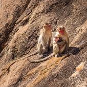 Monkey family in the mountain — Stock Photo
