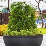 Bonsai pine tree in ceramic pot — Stock Photo #65753185