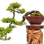 Bonsai pine tree in ceramic pot — Stock Photo #65755863