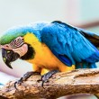 Blue and Gold or yellow Macaw parrot — Stock Photo #74355609