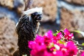Monkey titi cotton-top tamarin — Stock Photo