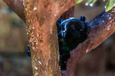 Black monkey on tree — Stock Photo