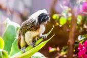 Monkey titi cotton-top tamarin — Stock Photo