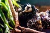 Monkey white-faced capuchin — Stock Photo