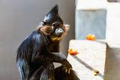 Black monkey — Stock Photo
