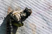 Monkey black-tufted marmoset — Stock Photo