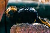 Black monkey titi leon — Stock Photo
