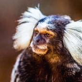 Monkey white tufted marmoset — Stock Photo