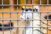 Monkey looking through zoo cell — Stock Photo