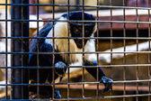 Maymun Hayvanat Bahçesi hücre arıyor — Stok fotoğraf