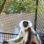 Gray langurs or Hanuman langurs monkey — Stock Photo