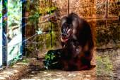 Monkey dril in zoo cell — Stock Photo