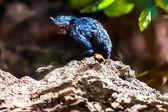 Black monkey tamarin — Stock Photo