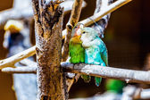Peach-faced Lovebirds parrots — Stock Photo