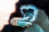 Closeup of monkey in zoo — Stock Photo